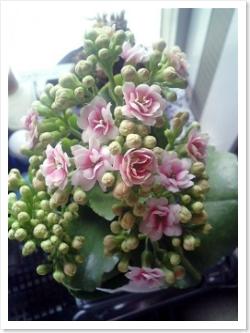 八重咲きのカランコエ