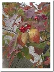紅葉した花水木